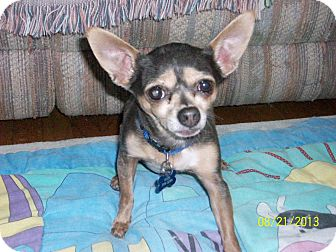 Chihuahua Mix Dog for adoption in Studio City, California - Gizmo (5 lbs)