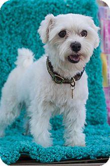 Maltese Mix Dog for adoption in Auburn, California - Finn