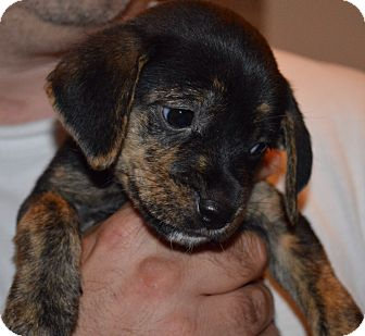 Dachshund Mix Puppy for adoption in East Windsor, Connecticut - Titch-available July 25th