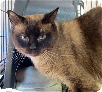 Siamese Cat for adoption in Colville, Washington - Snuggles