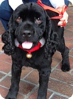 Cocker Spaniel Dog for adoption in Sacramento, California - Ozzy