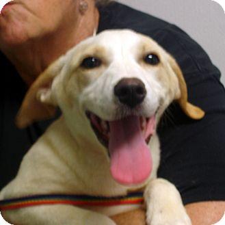 Labrador Retriever/Springer Spaniel Mix Dog for adoption in Manassas, Virginia - Ellie Mae