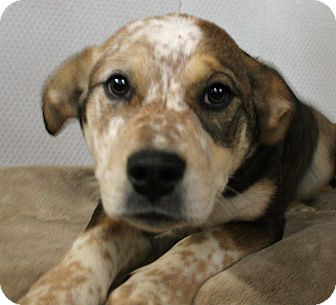 Australian Cattle Dog/Labrador Retriever Mix Puppy for adoption in Cranford, New Jersey - Carrie