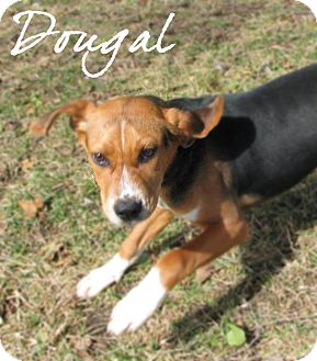 Beagle/Foxhound Mix Puppy for adoption in Farmington, Michigan - Dougal