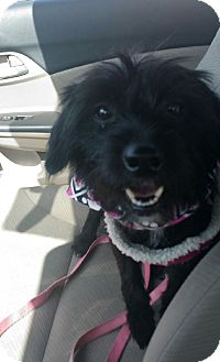 Terrier (Unknown Type, Small) Mix Dog for adoption in Las Vegas, Nevada - Dorothy