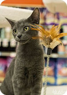 Russian Blue Kitten for adoption in Charlotte, North Carolina - A..  Baylor