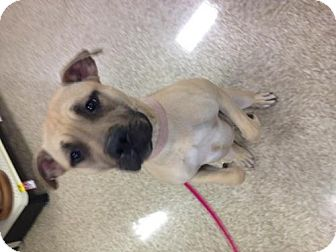 Staffordshire Bull Terrier/Pit Bull Terrier Mix Dog for adoption in House Springs, Missouri - Daphne