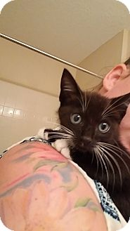 Domestic Shorthair Kitten for adoption in Tampa, Florida - Mellie