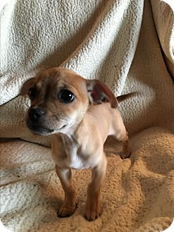 Pug/Dachshund Mix Puppy for adoption in Sun valley, California - stitch