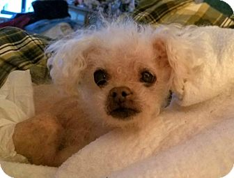 Poodle (Toy or Tea Cup) Dog for adoption in Long Beach, New York - Suzie Q