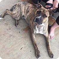 Adopt A Pet :: Brandy - Scottsdale, AZ