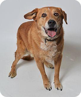 Australian Shepherd/Golden Retriever Mix Dog for adoption in Fruit Heights, Utah - Romeo