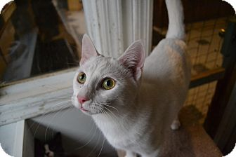 Domestic Shorthair Cat for adoption in Broadway, New Jersey - Windsor