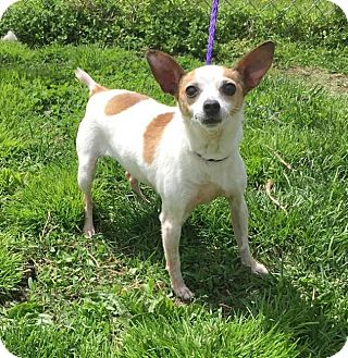 Terrier (Unknown Type, Small) Mix Dog for adoption in Muscatine, Iowa - Hannah