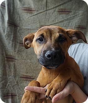 Rhodesian Ridgeback/Labrador Retriever Mix Puppy for adoption in Oviedo, Florida - Kimmy