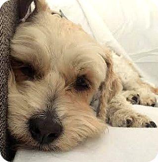 Wheaten Terrier/Cairn Terrier Mix Dog for adoption in Boulder, Colorado - Rio-ADOPTION PENDING