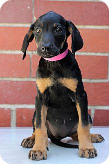 Hound (Unknown Type) Mix Puppy for adoption in Waldorf, Maryland - Marcy