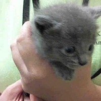 Domestic Mediumhair Kitten for adoption in Tavares, Florida - A019175