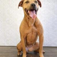 Adopt A Pet :: Miley - Fort Dodge, IA