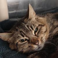 Adopt A Pet :: Hermione 2 - Venice, FL