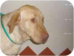 Labrador Retriever Dog for adoption in Cincinnati, Ohio - Tila