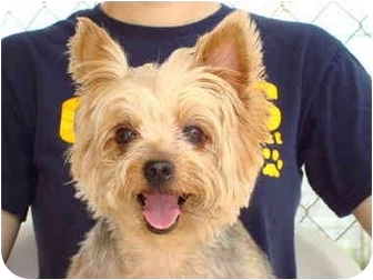 Yorkie, Yorkshire Terrier Dog for adoption in Baton Rouge, Louisiana - Sugar