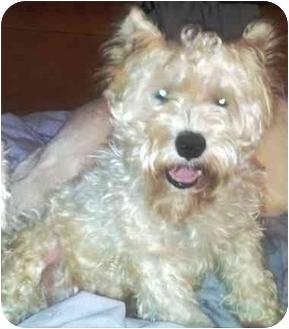 Standard Schnauzer Dog for adoption in Troy, Michigan - Shelby