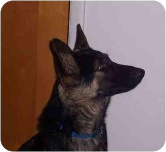 German Shepherd Dog Dog for adoption in Rochester/Buffalo, New York - Coco