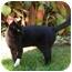 Photo 1 - Domestic Shorthair Cat for adoption in Marina del Rey, California - Felix