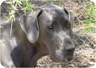 Great Dane Dog for adoption in Woodstock, Illinois - Titan