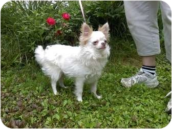 Chihuahua Dog for adoption in Raymond, New Hampshire - Sprocket