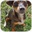 Photo 3 - Dachshund/Chihuahua Mix Puppy for adoption in Bellflower, California - Toby