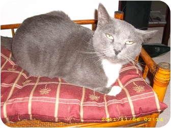 American Shorthair Cat for adoption in Wilmington, Delaware - Jacob