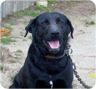 Labrador Retriever Mix Dog for adoption in Glenpool, Oklahoma - Jack
