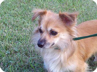 Pomeranian Mix Dog for adoption in Portland, Maine - Teddy