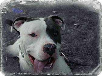 American Staffordshire Terrier Dog for adoption in Cincinnati, Ohio - Blue