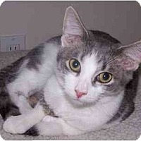 Domestic Shorthair/Domestic Shorthair Mix Cat for adoption in Sheboygan, Wisconsin - Malcolm