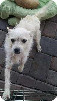 Terrier (Unknown Type, Medium) Mix Dog for adoption in Scottsdale, Arizona - Tomatoes