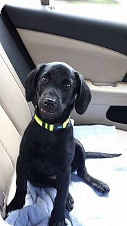 Beagle/Labrador Retriever Mix Puppy for adoption in Albemarle, North Carolina - Hunny