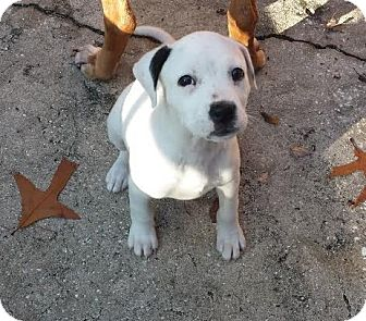 Pit Bull Terrier Puppy for adoption in Jacksonville, Florida - Elsa