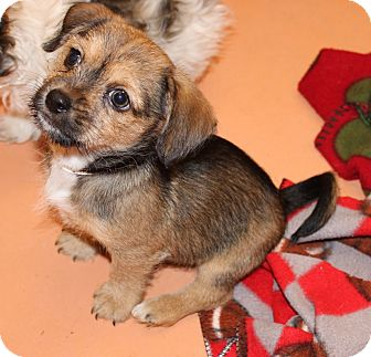 Terrier (Unknown Type, Small) Mix Puppy for adoption in Las Vegas, Nevada - BRIGHTON