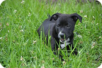 Labrador Retriever Mix Puppy for adoption in Ocean Springs, Mississippi - Mindy