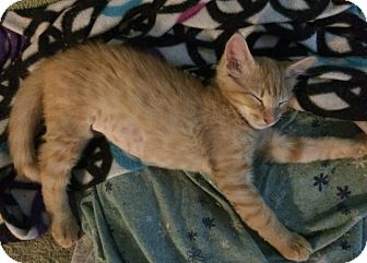 Domestic Shorthair Kitten for adoption in Cherry Hill, New Jersey - Butterscotch