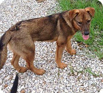 German Shepherd Dog Puppy for adoption in Preston, Connecticut - Crispin