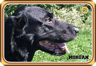 Labrador Retriever Dog for adoption in New Richmond,, Wisconsin - Morgan