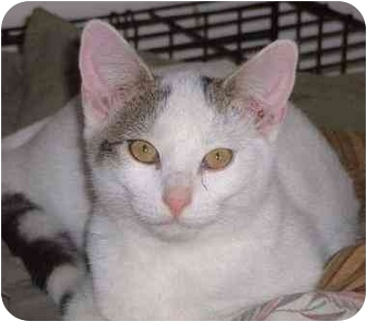 Domestic Shorthair Kitten for adoption in Overland Park, Kansas - Hutch