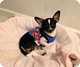 Chihuahua/Jack Russell Terrier Mix Dog for adoption in Dover, Tennessee - Lady Diana