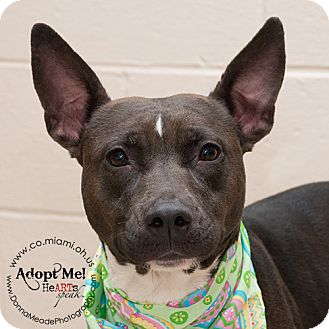 Pit Bull Terrier Dog for adoption in Troy, Ohio - Penny