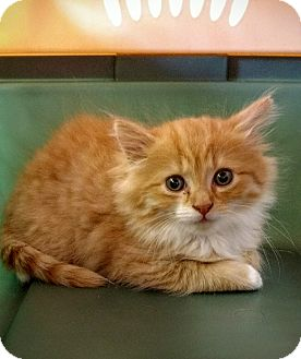 Maine Coon Kitten for adoption in Randolph, New Jersey - Waffles