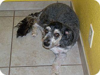 Labradoodle/Labradoodle Mix Dog for adoption in Apache Junction, Arizona - Harvey